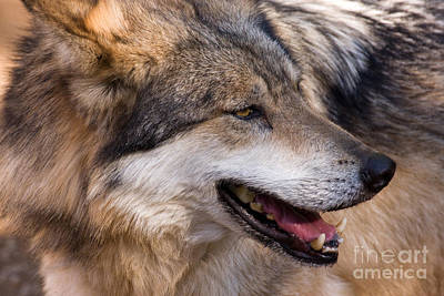 Poster featuring the photograph Mexican Gray Wolf by Chris Scroggins
