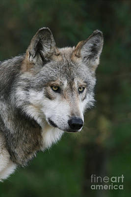 Mexican Wolf #4 Poster