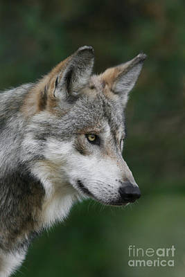 Mexican Wolf #5 Poster
