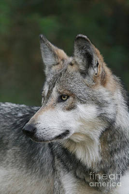 Mexican Wolf #6 Poster by Judy Whitton