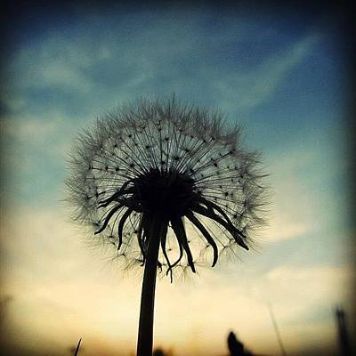 #mgmarts #dandelion #weed #sunset #sun Poster by Marianna Mills