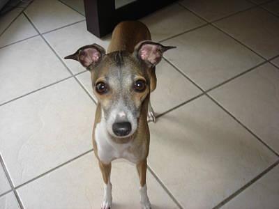 Mia Giselle - I Am So Petite - Italian Greyhound Poster