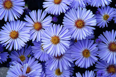 Poster featuring the photograph Michaelmas Daisy's  by Geraldine Alexander