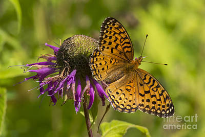 Michigan Fritillary Poster