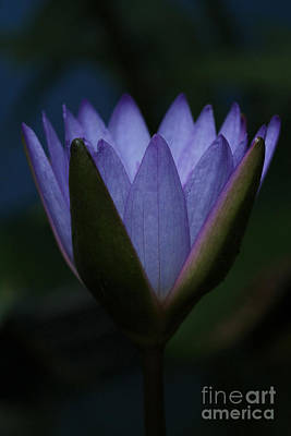 Midnight Water Lily Poster