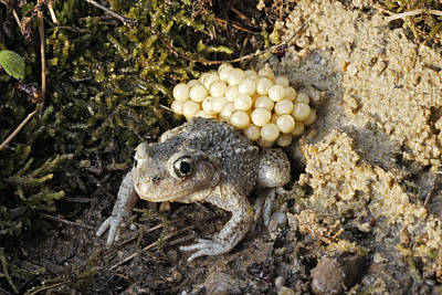 Midwife Toad With Eggs Poster by M. Watson