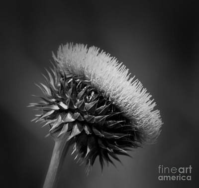 Milk Thistle Bw Poster