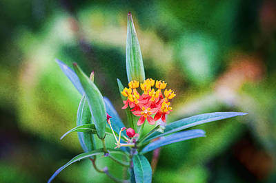 Milkweed Butterfly Weed Poster