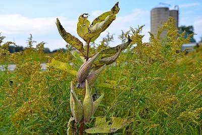 Milkweed In Early September Poster by Dave Zuker