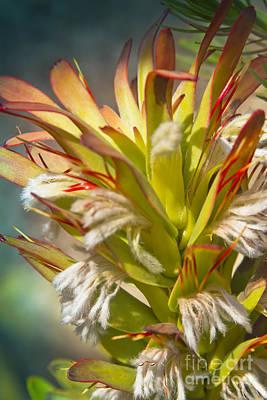 Mimetes Cucullatus - Proteaceae - Rooistompie Poster