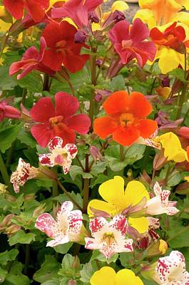 Mimulus Sp. Flowers Poster
