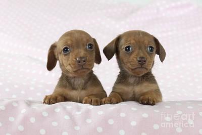 Miniature Dachshund Puppies Poster by John Daniels