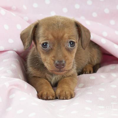 Miniature Dachshund Puppy Poster by John Daniels