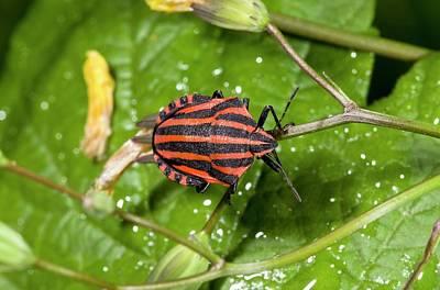 Minstrel Bug Poster
