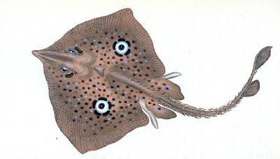 Mirror Ray, Raja Miraletus, British Fishes Poster by Artokoloro