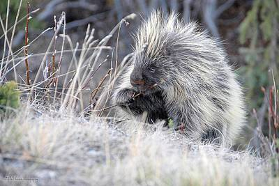 Poster featuring the photograph Mister Porcupine - Denali Alaska by Dyle   Warren