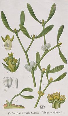Mistletoe Poster by Elizabeth Blackwell