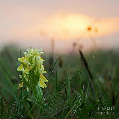 Misty Sunset Orchid Poster by Kennerth and Birgitta Kullman
