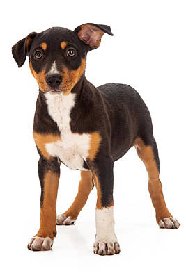 Mixed Breed Puppy Ear Up Poster