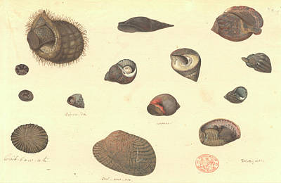 Molluscs Poster by Natural History Museum, London