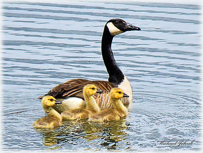 Mom And Her Goslings Poster by Michael Johnk