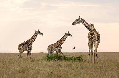 Mom Giraffe And Twins In Color Poster by June Jacobsen