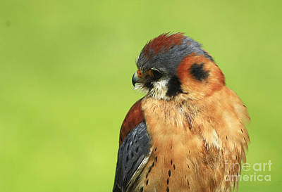 Moments Of Beauty American Kestrel Falcon  Poster by Inspired Nature Photography Fine Art Photography