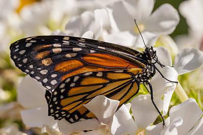 Monarch Butterfly Poster by Adam Romanowicz