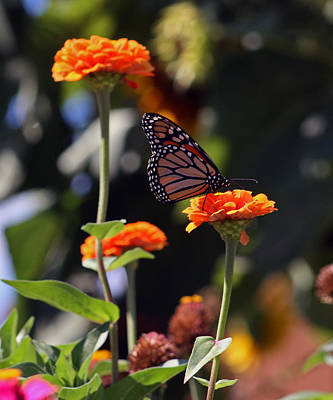 Monarch Butterfly And Orange Zinnias Poster by Kay Novy