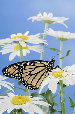 Monarch Butterfly In Daisies Poster