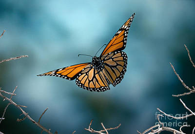 Monarch Butterfly In Flight Poster by Stephen Dalton
