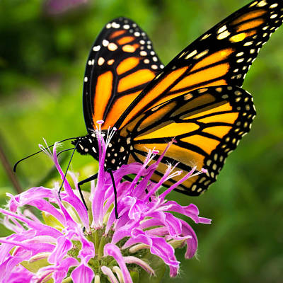 Monarch Butterfly On Bee Balm Poster