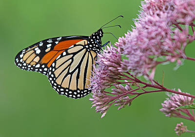 Monarch Butterfly Photography Poster