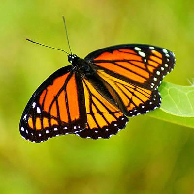 Monarch Poster by Carol Toepke