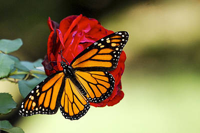 Poster featuring the photograph Monarch On Rose by Debbie Karnes