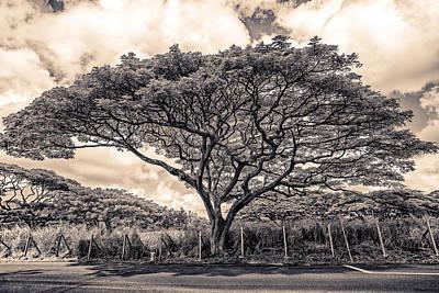 Monkey Pod Tree Poster by Robert  FERD Frank