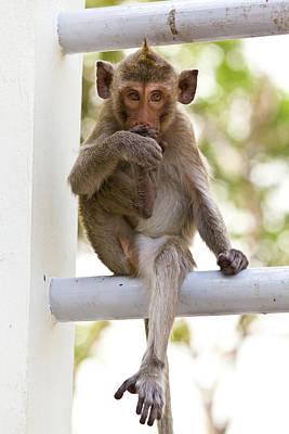Monkeys Cute Sitting On A Steel Fence Poster