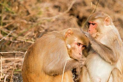 Monkeys Keoladeo Ghana National Park Poster by Tom Norring