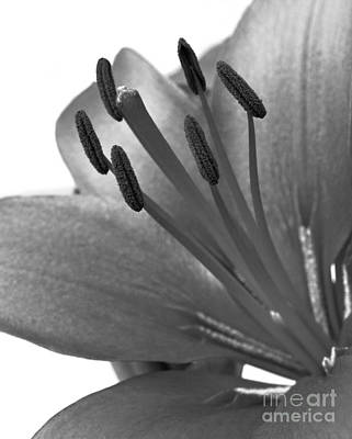 Poster featuring the photograph Monochrome Asian Lily by Anita Oakley