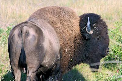 Poster featuring the photograph Montana Buffalo Bison Bull by Karon Melillo DeVega