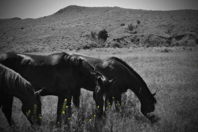 Montana Horses Poster