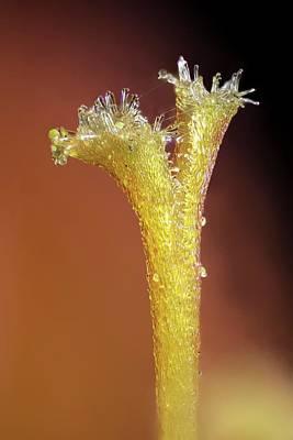 Montbretia Flower Stigma Poster