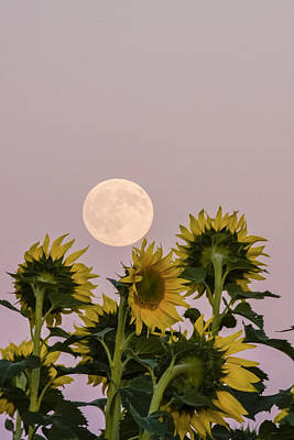 Moon And Sunflowers Poster