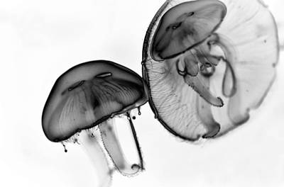 Moon Jellyfish - Black And White Poster