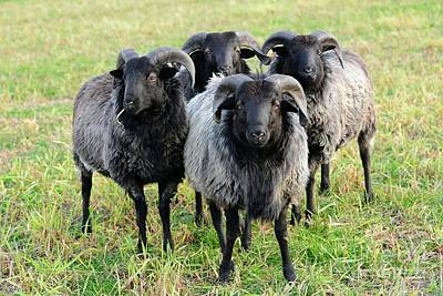 Moorland Sheep Poster by Gisela Scheffbuch