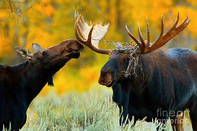 Poster featuring the photograph Moose Be Love by Aaron Whittemore