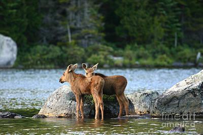 Moose Calves In Maine Poster