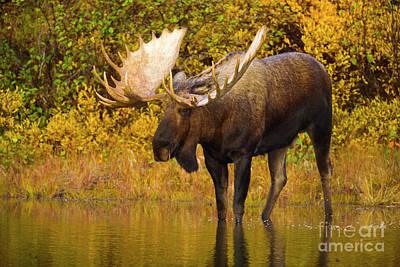 Moose In Glacial Kettle Pond  Poster by Yva Momatiuk John Eastcott