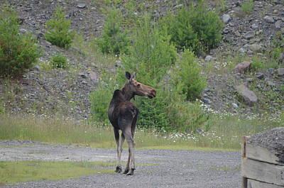 Moose Poster by James Petersen