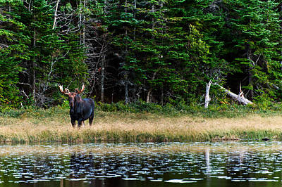 Moose Poster by Ulrich Schade